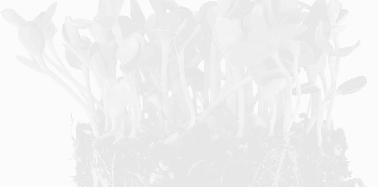 Големите ползи на слънчогледовите кълнове